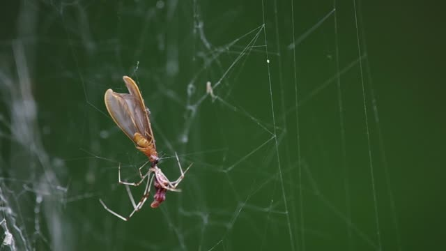 termite is catching by spider video