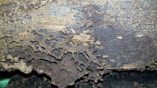 Termite nesting on the wood for building a home. video