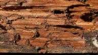 Termite walking on the wood video