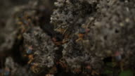 Termite workers repairing a tunnel video