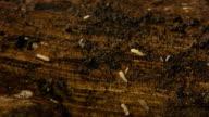 Termites On Wood 15x (HD) video