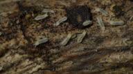Termites On Wood (HD) video