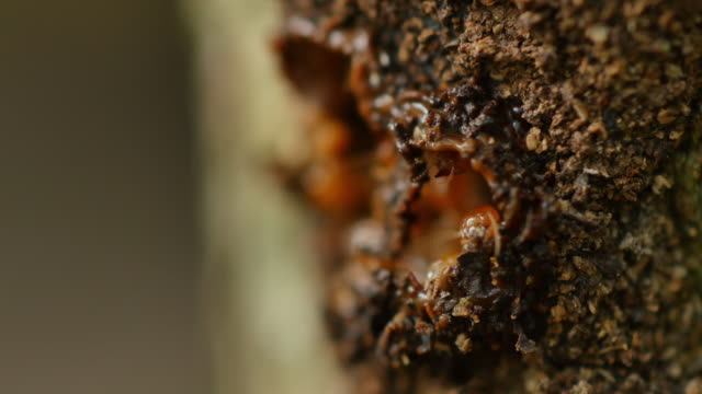 Termites workers repairing a tunnel. video