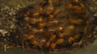 Termites workers running in a tunnel. video
