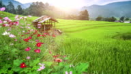 Terraced rice paddy field at sunrise video