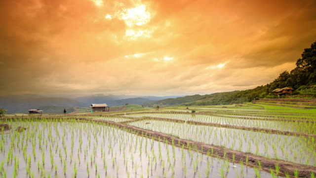 Terraced rice paddy field at sunset video