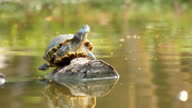 terrapin basking in the sun on timber video