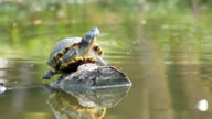 terrapin basking in the sun on timber with water monitor swimming video