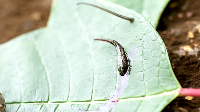 Terrestrial Tiger Leeches (Haemadipsa picta) are common parasites in Thailand. Here it is demonstrated how these leeches wait on leaves video