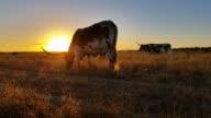 Texas Longhorn cattle farming sunset / sunrise landscape video