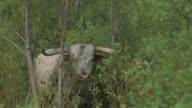 Texas longhorn cattle video