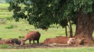 Thai Buffalo video