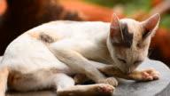 Thai cat video