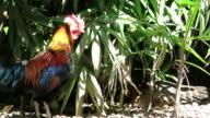 Thai chicken video