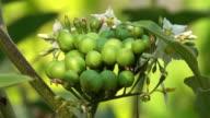Thai Eggplant video