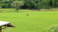 Thai farmer carrying lawn mower walking along the rice field. video