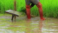 thai farmer planting rice paddy video