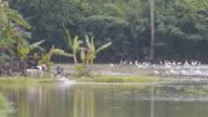 Thai farmer with white crane. video