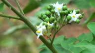 Thai Pea Eggplant video