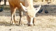 Thai white buffalo. video