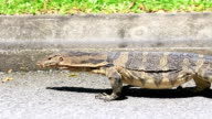 Thailand Travel Video. Exotic Animal Monitor Lizard Bangkok Southeast Asia video