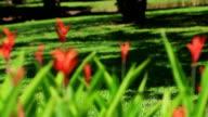 Thailand Travel Video. Red Tropical Flowers Bangkok City Park video
