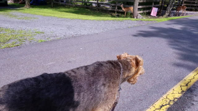 The Airedale terrier walking on the community road near by the group of feeding deer video