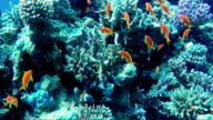 The amazing underwater world of the Red Sea. Depth of 5 meters, many corals and colorful exotic fish video