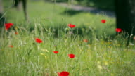 The Appian way in Rome: spring poppies bloom video
