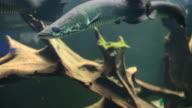 The Arapaima fish video