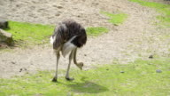 The back of the feathery ostrich on the zoo video