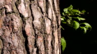 The bark of a pine closeup. Hand touches tree trunk. video