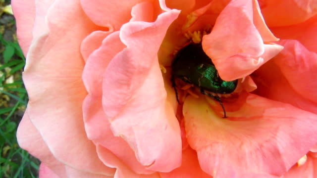 The beetle of the green rose chafer actively rummages in the rosebud - 34s video