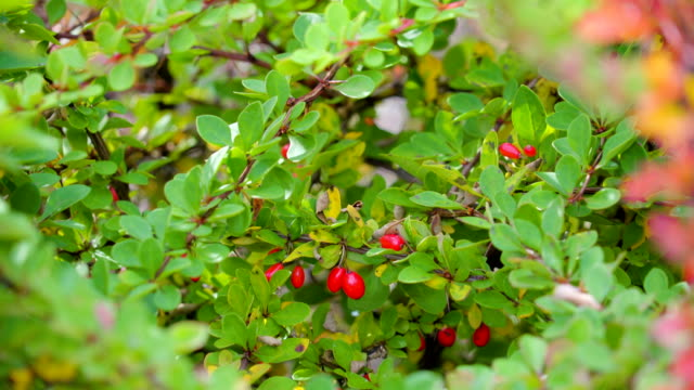 The Berberis thunbergii plant in the garden video
