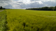 The big barley field on the road side video