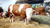 The big bull eating in a cowshed video