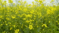 The big field of the rapeseed plants video