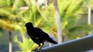 The bird Mynah on the balcony video