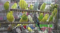 The birds are in cage. video