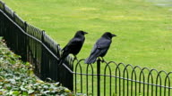 The black fence of the tower with two ravens video