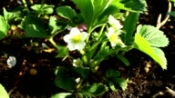 The blossoming wild strawberry. video
