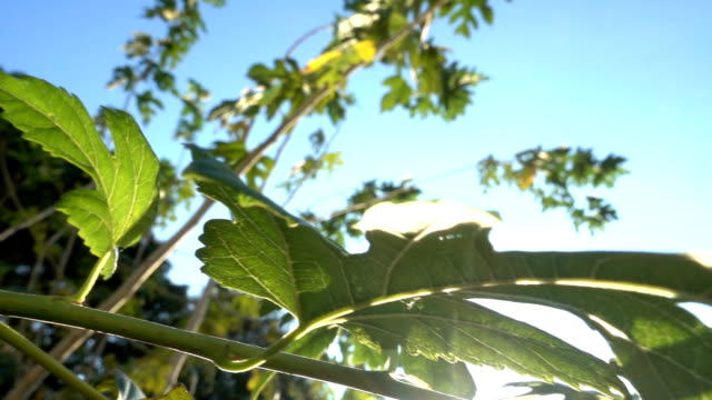 The brabches of a large mulberry tree Slow motion video