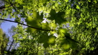 The branch of a maple at a the wood background. Slow motion video