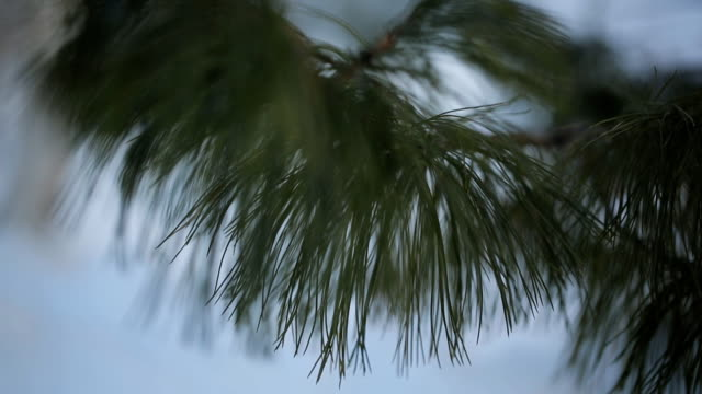 The branch of pine tree close-up in calm weather video