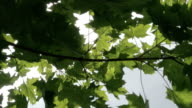 The branch of the maple tree with green leaves video