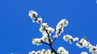 The branches of the cherry blossoms on background blue sky. video