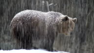The brown bear in snow at nature video
