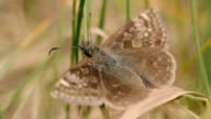 The brown butterfly crawls along the grass. Close-up video