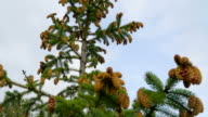 The brown flower of the spruce trees in the garden video