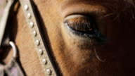 The brown horse with settled eye, harness and bridle made of leather and metallic belts is relaxing outside video
